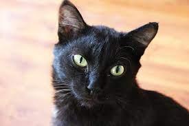 แมวสีดำ